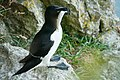 Razorbill with a nice catch.jpg