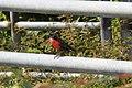 Red-breasted Blackbird (Sturnella militaris) (4090187066).jpg