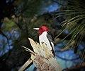 Red-headed Woodpecker. Melanerpes erthrocephalus (24139456417).jpg