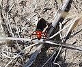 Red Beetle 3.jpg
