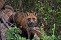 Red Fox 05-06-2018 038 (41228763394).jpg