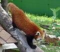 Red Panda ailurus fulgens.jpg