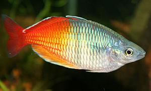 Atheriniformes - Boeseman's rainbowfish, Melanotaenia boesemani, red variety