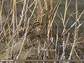 Reed Bunting (Emberiza schoeniclus) (32109316113).jpg