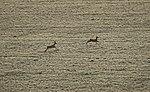 Rehe auf dem Feld in Sachsen 2H1A3970WI.jpg