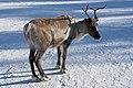 Reindeer Ukonjärvi-Inarijärvi, Finland 07.jpg