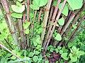 Reynoutria japonica(Staude).jpg