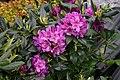 Rhododendron Lee's Dark Purple 8501.JPG