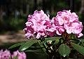 Rhododendron Tuiranpuisto Oulu 20180521 08.jpg