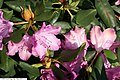 Rhododendron catawbiense Roseum Elegans 1zz.jpg