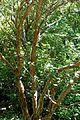 Rhododendron thomsonii - VanDusen Botanical Garden - Vancouver, BC - DSC07164.jpg