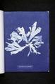 Rhodomenia palmata (NYPL b11861683-419675).tiff