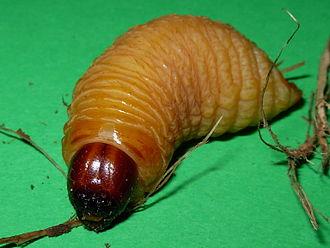 Rhynchophorus ferrugineus - Image: Rhynchophorus ferrugineus larva