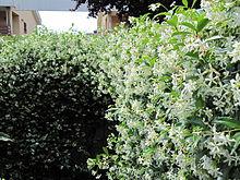 arbuste grimpant pour pergola