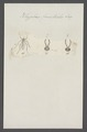 Rhyphus - Print - Iconographia Zoologica - Special Collections University of Amsterdam - UBAINV0274 038 04 0010.tif