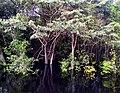 Ribeira do Rio Negro, Anavilhanas, Novo Airão.jpg