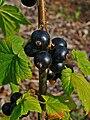 Ribes nigrum 003.JPG