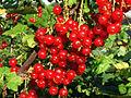 Ribes rubrum a1.jpg