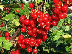 Ribes rubrum a1