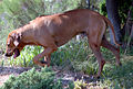 Ridgeback on trail.jpg