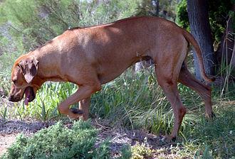 Rhodesian Ridgeback - Rhodesian Ridgeback on trail
