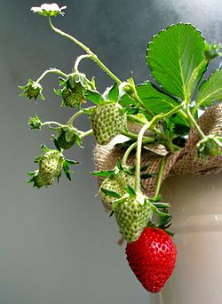 Ripening strawberries.jpg