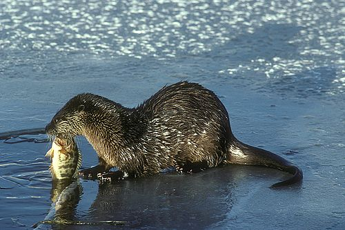 River Otter with Fish (5711531594).jpg