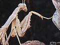 Rivetina balcanica (Mantis sp.) frontleg detail, Skala Kalloni, Lesbos, Greece.jpg