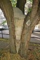 Robinia pseudoacacia (False Acacia).jpg