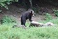 Romania bear (29220792827).jpg