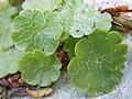 Romanian Flora - Odd plant 02.JPG