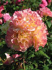 Rosa 'Aquarelle' 04.jpg