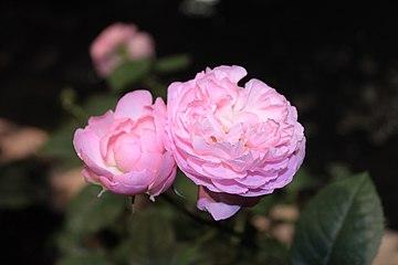Rosa 'Mary Rose'.jpg
