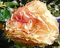 Rosa 'Tequila Sunrise' 3.jpg