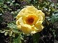 Rosa Arthur Bell 2018-07-16 6773.jpg