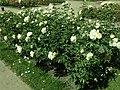 Rosa Chopin 2019-07-11 2811.jpg
