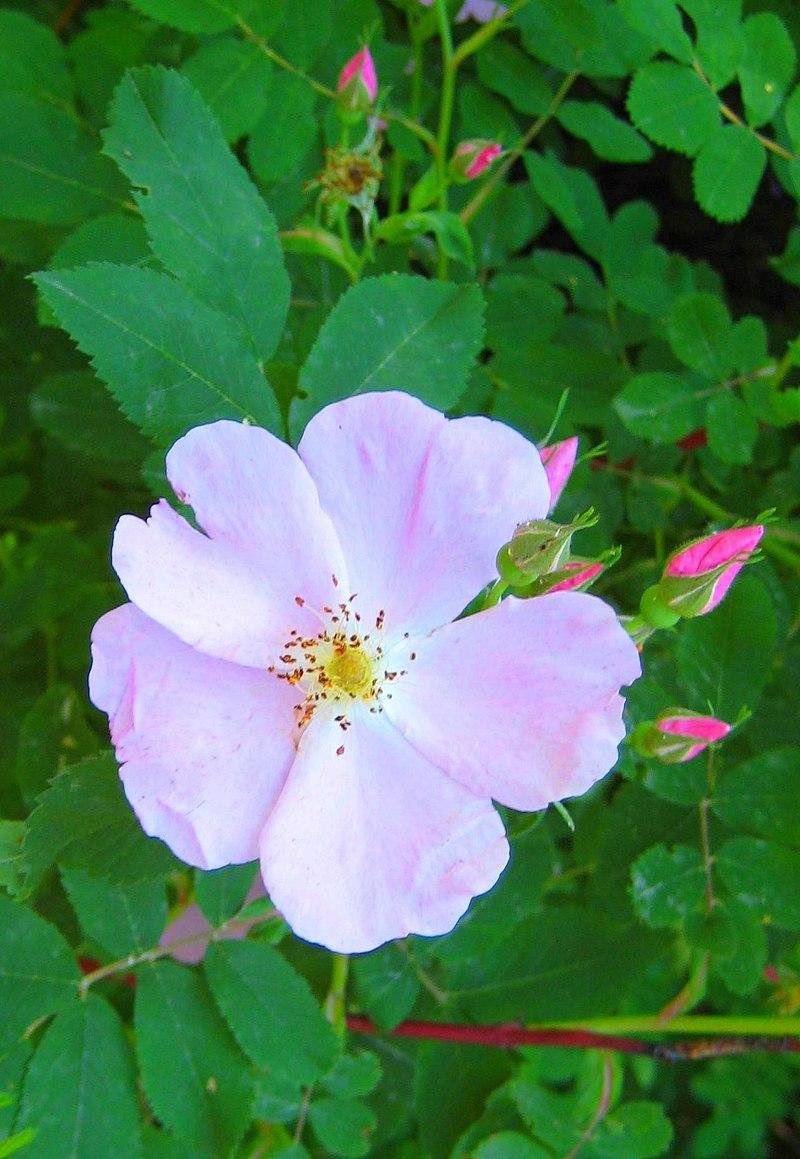 Провінційна квітка: «дика рожа»