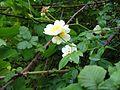 Rosa arvensis1.2.JPG