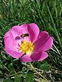 Rosa gallica sl26.jpg