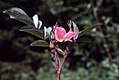 Rosa glauca inflorescence (28).jpg