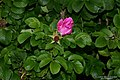Rosa rugosa inflorescence (05).jpg