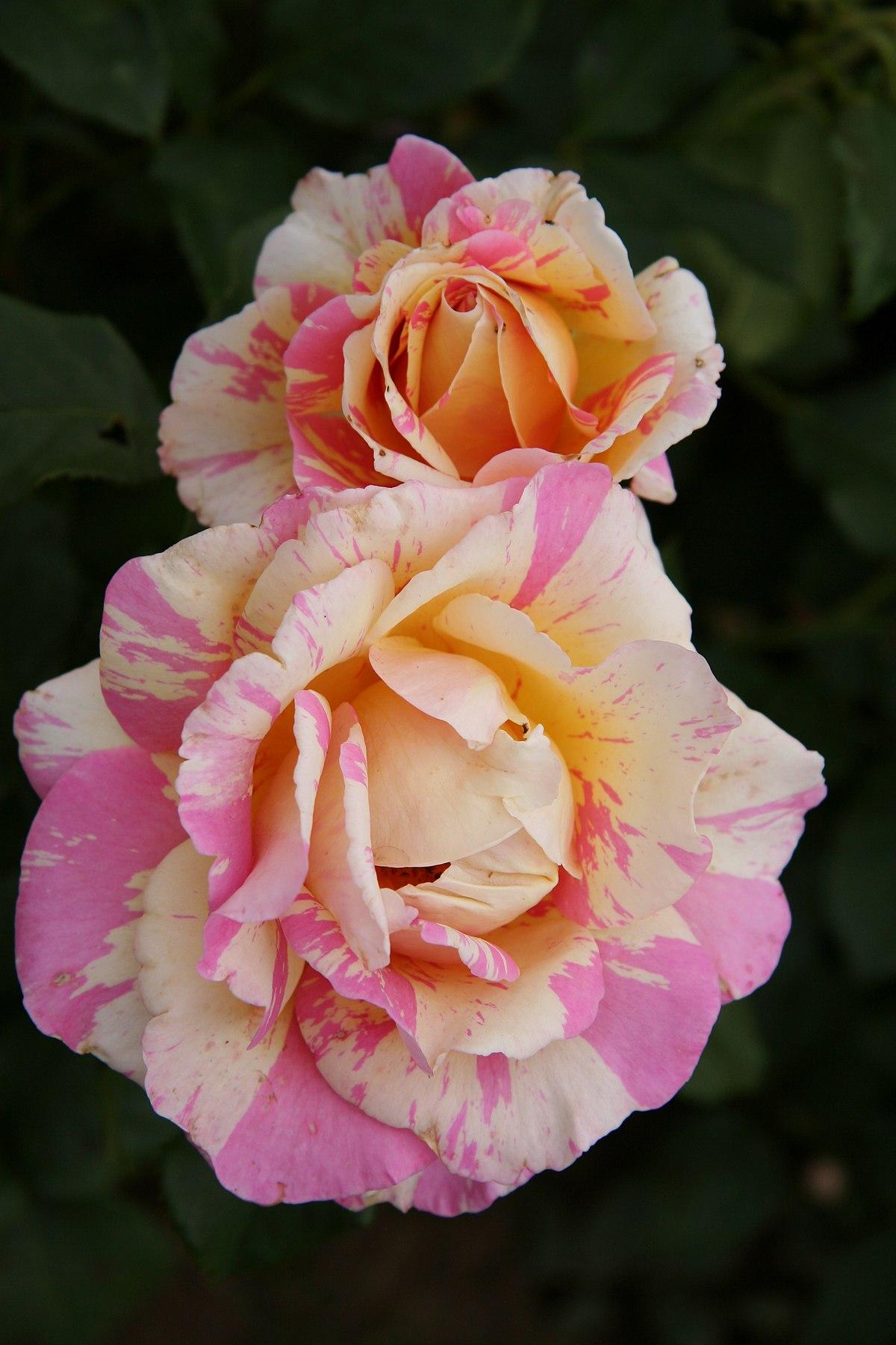 claude monet rose wikipedia