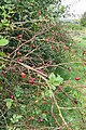 Rose hips on the footpath - geograph.org.uk - 980970.jpg