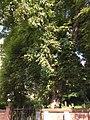 Rosskastanie am jüdischen Friedhof Bad Vilbel.jpg