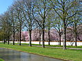 Rosskastanienallee blühende Kirschbäume.JPG