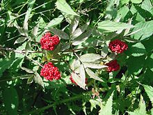 Rote >> Roter Holunder – Wikipedia