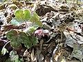 Roundlobe Hepatica, Round-lobed Liverleaf (Hepatica americana, Anemone americana) Nature Hike Duke Forest Durham NC 0280 (26668251275).jpg