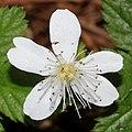 Rubus pedatus (flower s6).jpg