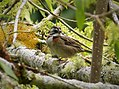Rufous-collared Sparrow Zonotrichia capensis - Flickr - gailhampshire (1).jpg