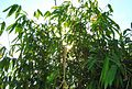 Rumpun pohon bambu (7).JPG